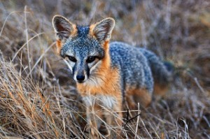 These endangered foxes are curious little creatures about the size of a house cat